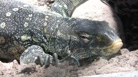 Ornate Nile Monitor is relaxing on some rocks Footage