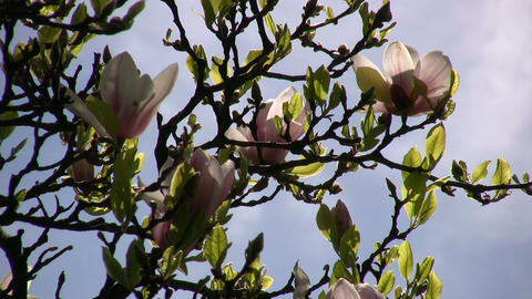 Flowering magnolia tree is gently swaying in wind (High Definition) Footage