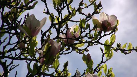 Flowering magnolia tree is gently swaying in wind (High... Stock Video Footage
