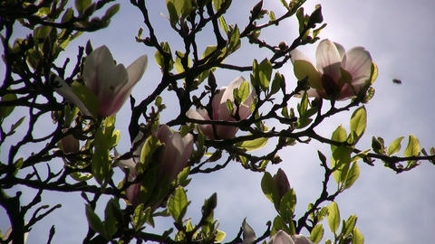 Flowering magnolia tree is gently swaying in wind (High... Stock Video Footage