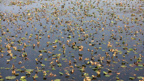 Lily pads are floating in this wetland scenic (High Definition) Footage