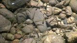 Minnows Playfully Swim In A Shallow Sunlit Pond (High Definition) stock footage