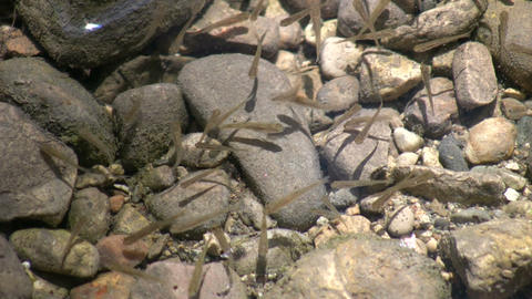 Minnows playfully swim in a shallow sunlit pond (High... Stock Video Footage