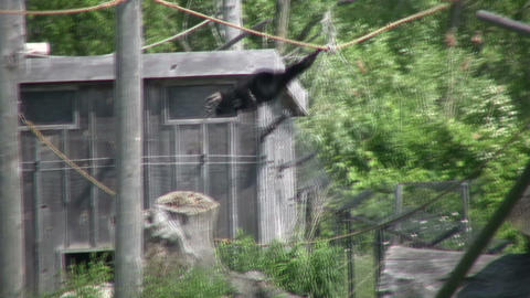 Black and white colobus monkey swings through trees (High... Stock Video Footage