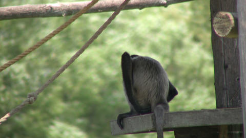 Spider monkey hangs out in shade, keeping cool (High Definition) Footage