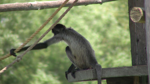 Spider monkey hangs out in shade, keeping cool (High... Stock Video Footage