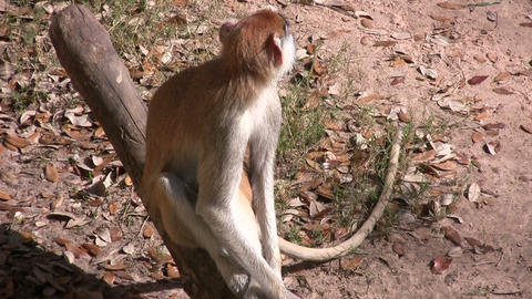 Patas Monkey is resting on branch amidst a sunny day Stock Video Footage
