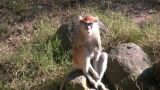 Patas Monkey Is Resting On Rock Amidst A Sunny Day stock footage