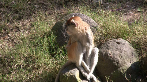 Patas Monkey is resting on rock amidst a sunny day Footage