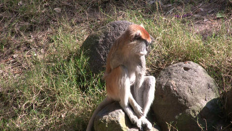 Patas Monkey is resting on rock amidst a sunny day Stock Video Footage