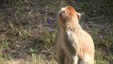 Patas Monkey Is Resting Amidst The Sunny Day stock footage