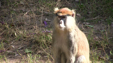 Patas Monkey is resting amidst the sunny day Stock Video Footage