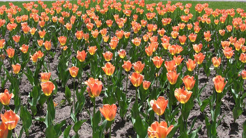 Beautiful orange tulips gently sway in the wind (High Definition) Footage