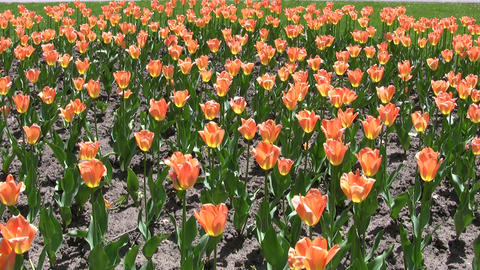 Beautiful orange tulips gently sway in the wind (High... Stock Video Footage