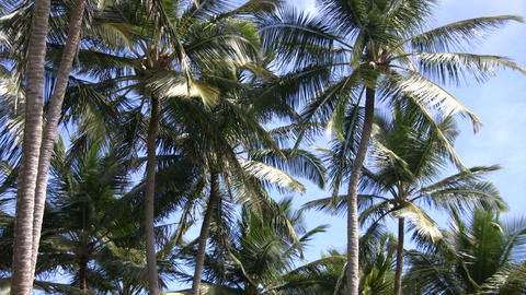 Palm tree gently sways amidst a blue sky (High Definition) Footage