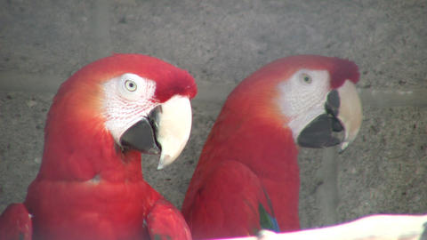 Closeup of Scarlet Macaw parrot looking around (High... Stock Video Footage