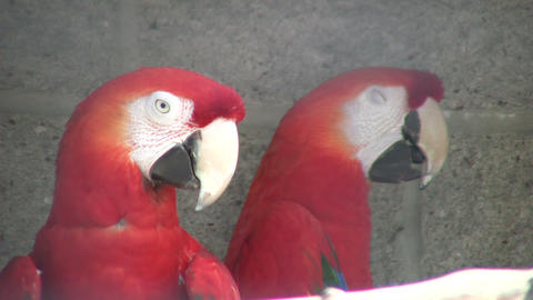 Closeup of Scarlet Macaw parrot looking around (High Definition) Footage
