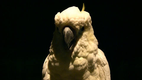 Close-up of White parrot illuminated amidst dark background Footage