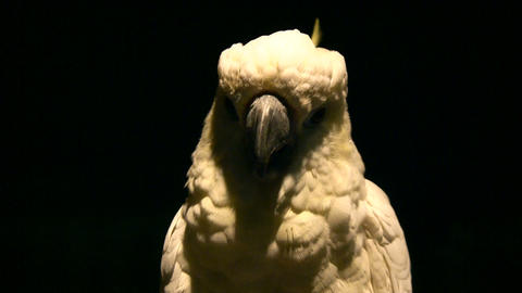 Close-up of White parrot illuminated amidst dark background Stock Video Footage