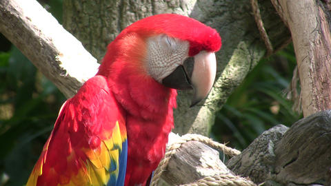 Closeup of a Scarlet Macaw parrot perched on branch Stock Video Footage