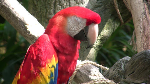 Closeup of a Scarlet Macaw parrot perched on branch Footage
