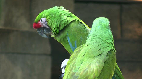 Two Military Macaw parrots are playfully nibbling each... Stock Video Footage