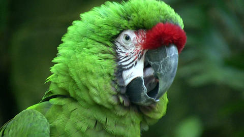 Closeup of a Military Macaw parrot Footage