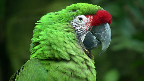 Closeup of a Military Macaw parrot Stock Video Footage