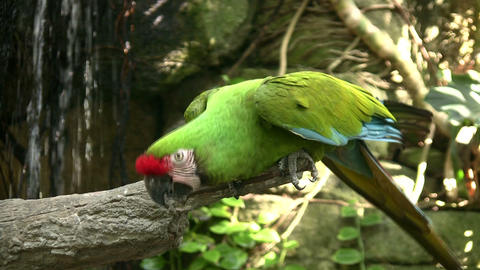 Military Macaw is spreading it's wings after spotting... Stock Video Footage