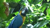 Blue And Gold Macaw Parrot Is Resting On A Branch stock footage