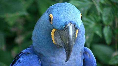 Closeup of a Hyacinth Macaw parrot Stock Video Footage