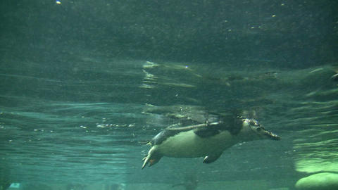 Closeup of a Gentoo Penguin swimming through the water Stock Video Footage