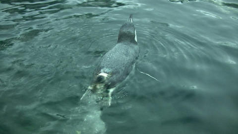 Closeup of a Gentoo Penguin swimming in the water Stock Video Footage