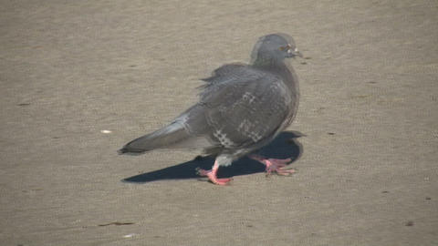 Pigeon is walking around beach (High Definition) Stock Video Footage