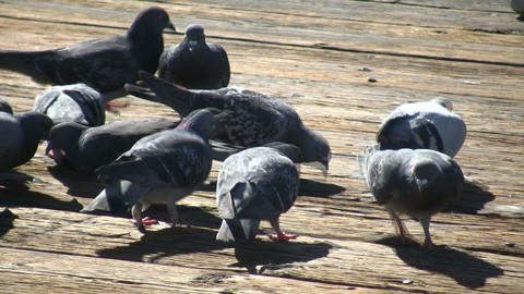 Hungry pigeons trample each other to get food (High... Stock Video Footage