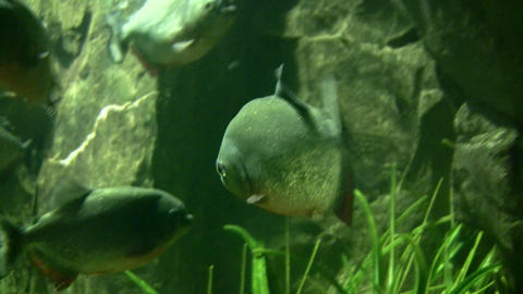 Piranhas rests quietly in the dark water Footage
