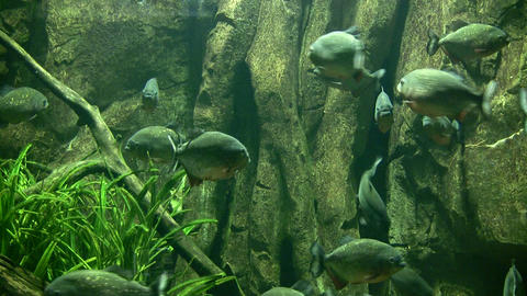 Piranhas rests quietly in the dark water Footage