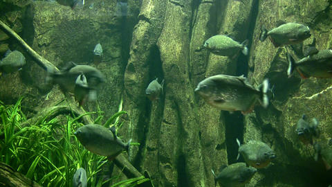 Piranhas rests quietly in the dark water Stock Video Footage