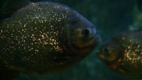 Closeup of Piranhas swimming through the dark water Footage