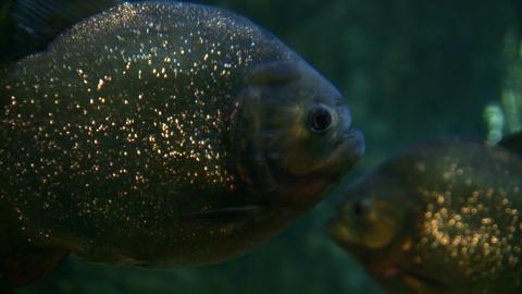 Closeup of Piranhas swimming through the dark water Stock Video Footage