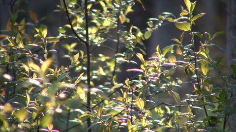 Leaves of a plant are swaying in wind (High Definition) Footage