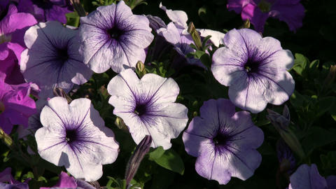 Purple Petunia wildflowers gently sway in the wind (High Definition) Footage