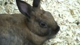 Cute Bunny Rabbit Relaxes In Some Wood Chips (High Definition) stock footage