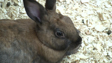 Cute bunny rabbit relaxes in some wood chips (High Definition) Footage