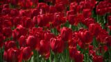 Beautiful Red Tulips Gently Sway In The Wind (High Definition) stock footage