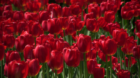 Beautiful red tulips gently sway in the wind (High Definition) Footage