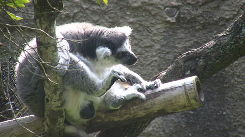 Ring-Tailed Lemer rests on branch, eating a small meal Footage