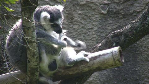 Ring-Tailed Lemer rests on branch, eating a small meal Stock Video Footage
