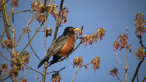 Robin sits in tree, calling out to friends (High Definition) Stock Video Footage