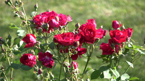 Beautiful red roses gently sway in the wind (High Definition) Footage